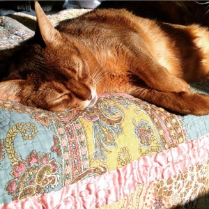 Kali the Abyssinian napping in the sunbeams on my bed.